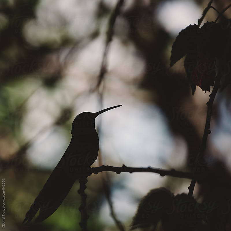 Silhouette of a sitting hummingbird by Gabriel Tichy for Stocksy United
