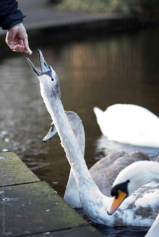 Man feeding a swan by Luca Pierro for Stocksy United