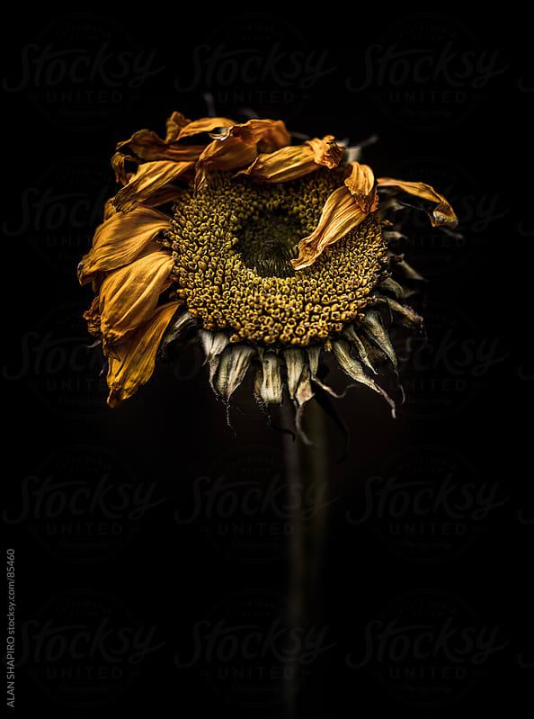 Tired sunflower by alan shapiro for Stocksy United