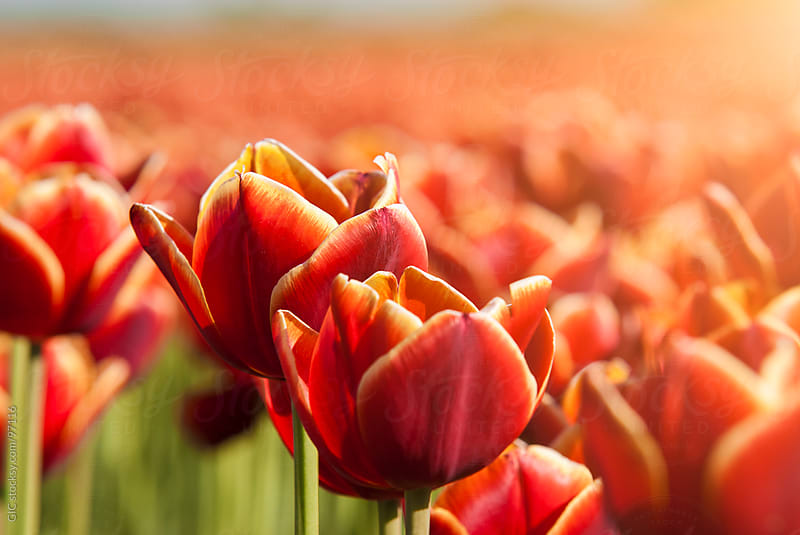 Dutch Red Tulips Close Up  by GIC for Stocksy United
