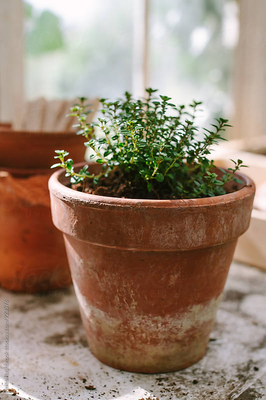 A thyme plant in a clay pot by Helen Rushbrook for Stocksy United