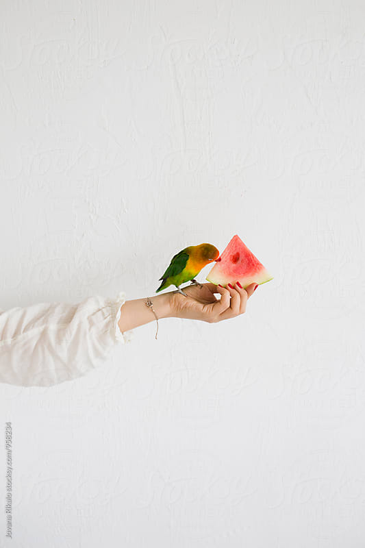 Parrot eating a watermelon by Jovana Rikalo for Stocksy United
