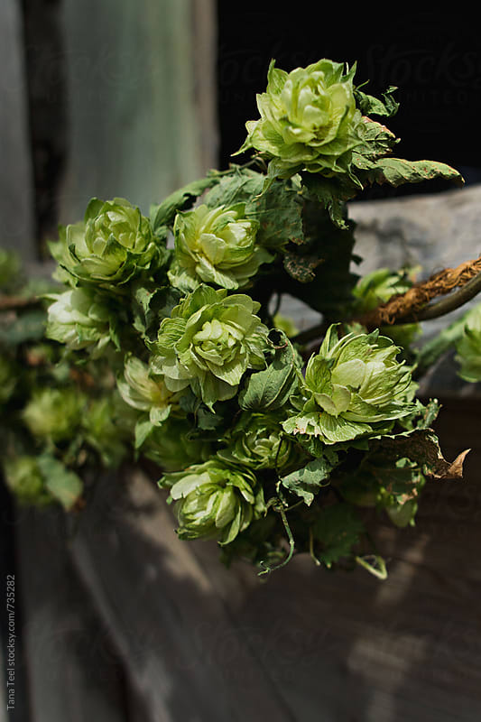 Vine of hops against rustic wood by Tana Teel for Stocksy United