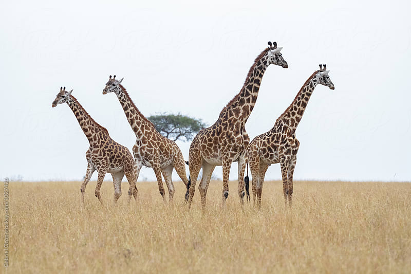 Giraffes by Gabriel Ozon for Stocksy United