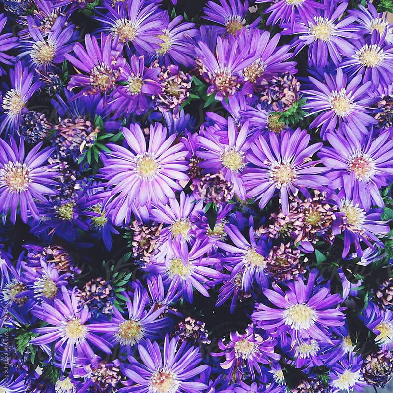 A bunch of fresh purple flowers by Greg Schmigel for Stocksy United