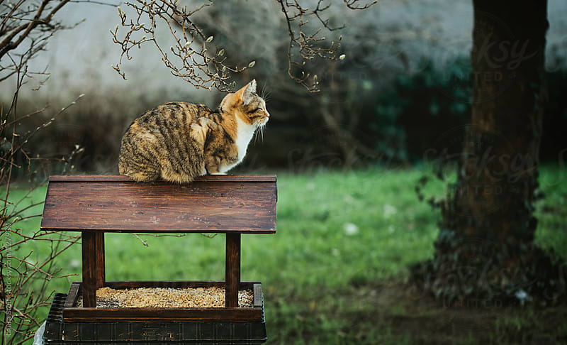 Cat laying in ambush on wooden feeder waiting for birds to come by Laura Stolfi for Stocksy United