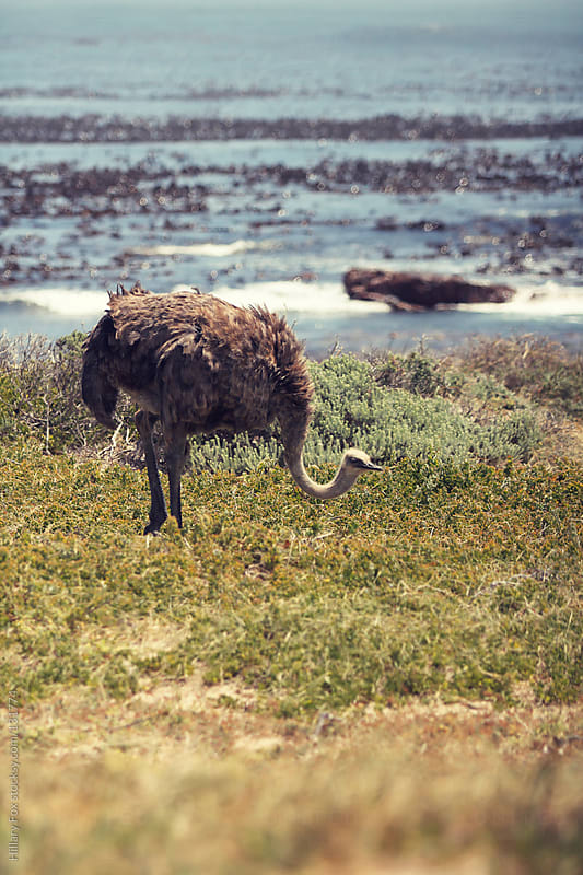Ostrich by Hillary Fox for Stocksy United