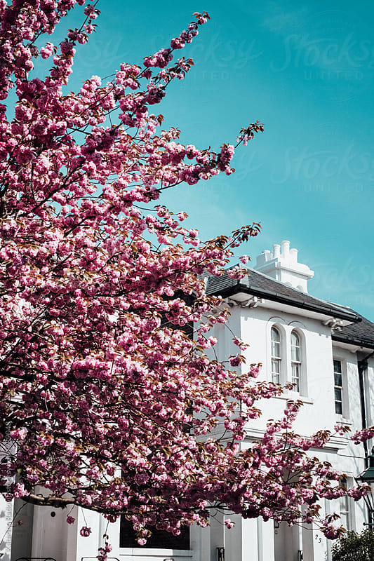 Pink Cherry Blossom Tree in Front of the White House by Katarina Radovic for Stocksy United
