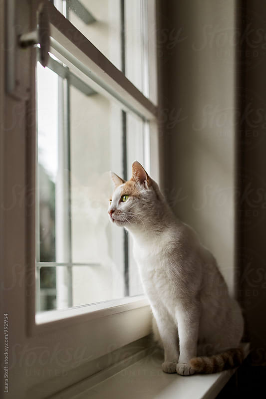 White cat and his reflection on window while he stares at the outside by Laura Stolfi for Stocksy United