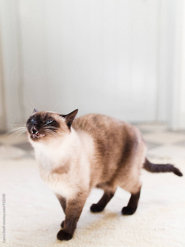 Close up of siamese cat about to sneeze by Laura Stolfi for Stocksy United