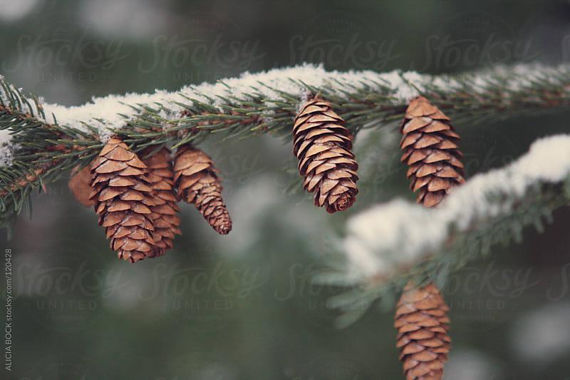 Pine Cones  by ALICIA BOCK for Stocksy United