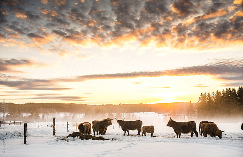 higland cattle in a winter sunset scenery by Andreas Gradin for Stocksy United