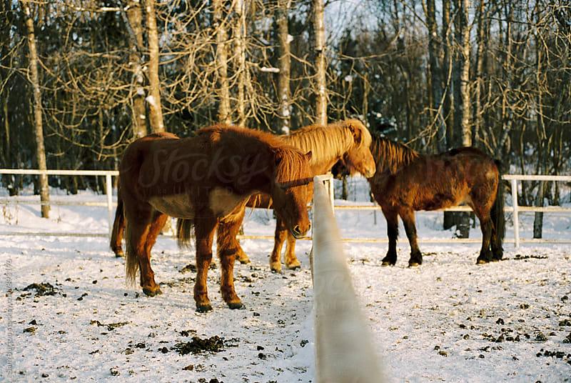 Icelandic horses by Sam Burton for Stocksy United