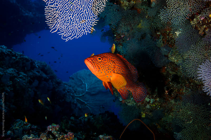 coral grouper by Song Heming for Stocksy United