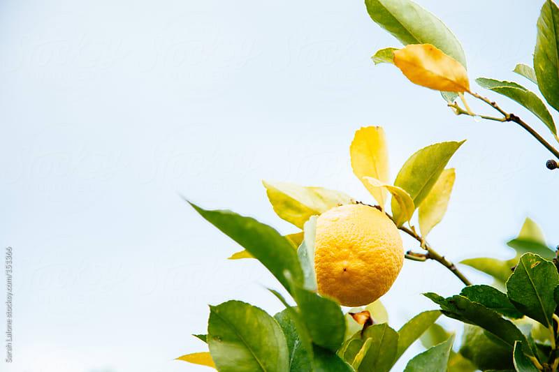 lemons on a lemon tree by Sarah Lalone for Stocksy United
