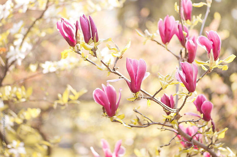 spring magnolia flowers by Helen Yin for Stocksy United