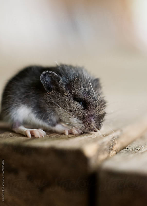 Portrait Of Tiny Mouse On Wood Table by Jack Sorokin for Stocksy United