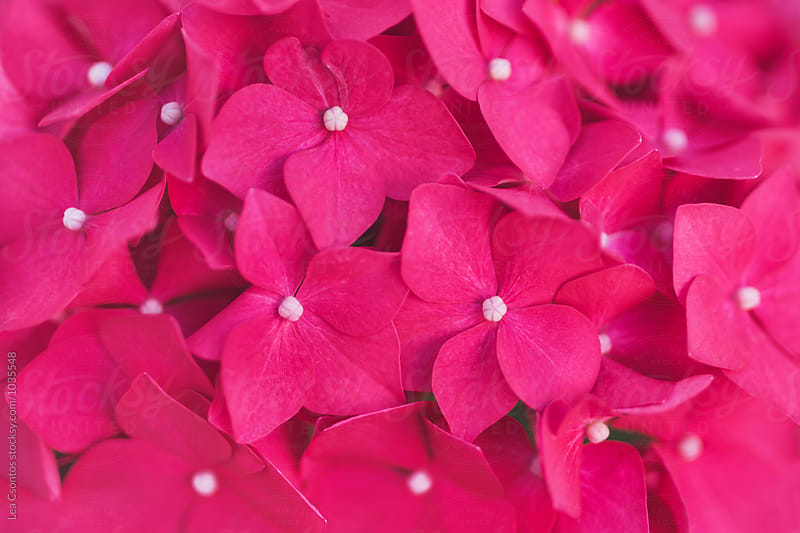 Pink  hydrangea closeup by Lea Csontos for Stocksy United