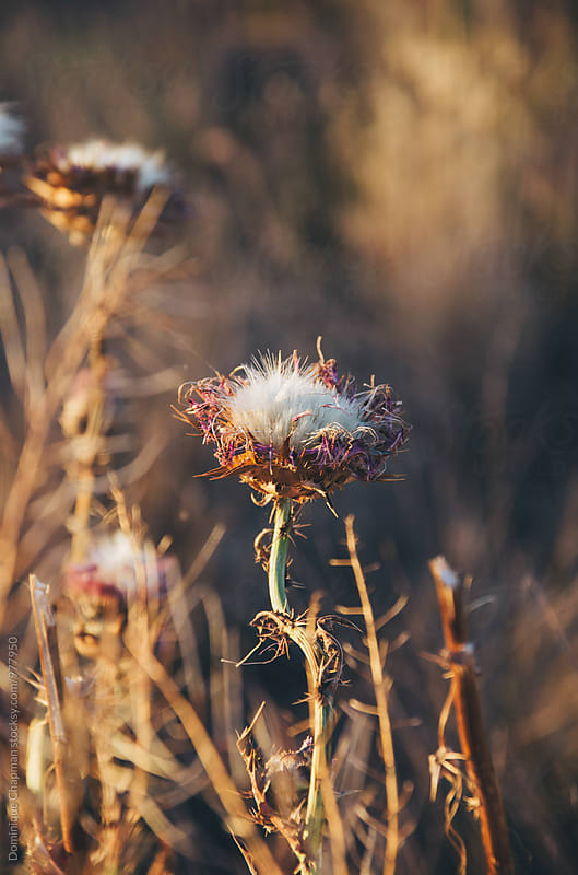 Close up of a thistle flower dying by Dominique Chapman for Stocksy United