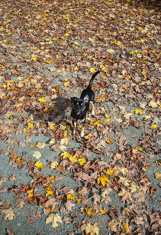 Puppy in Autumn Leaves by meredith adelaide for Stocksy United