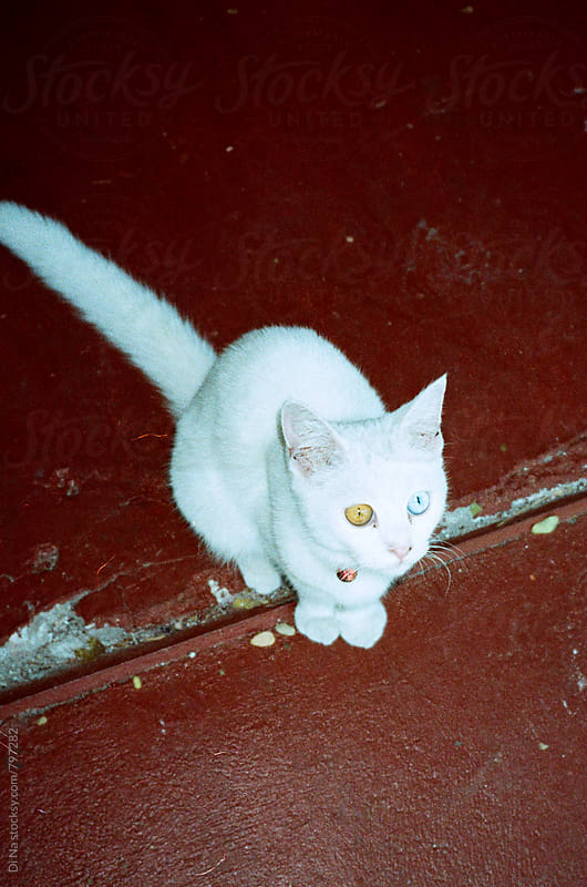 Cute white cat with different eyes by Di Na for Stocksy United