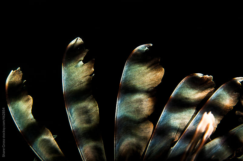 Lionfish Spines by Shane Gross for Stocksy United