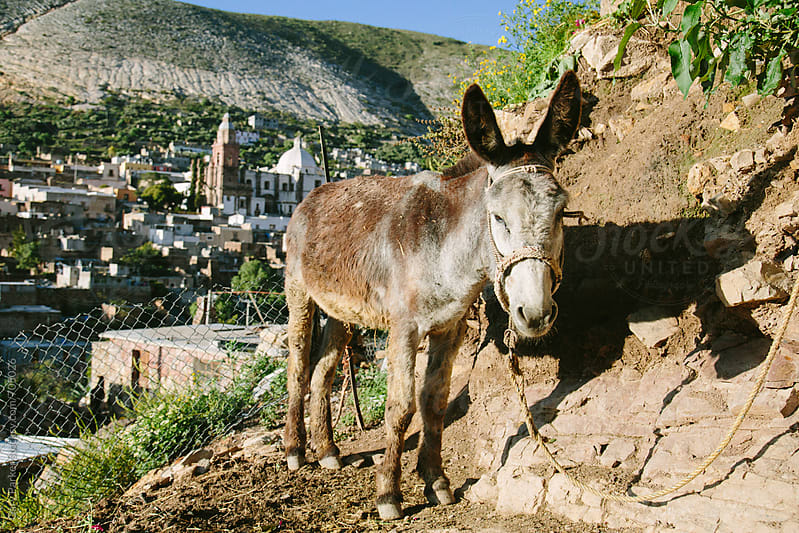 A donkey at the top of a hill in Mexico with the town of Real de Catorce in the background by Gary Parker for Stocksy United