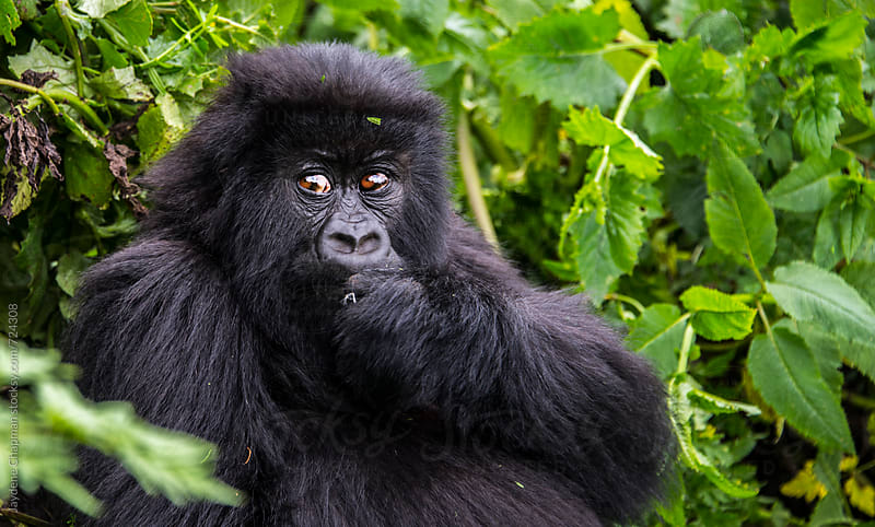 Gorilla in the jungle,National park Rwanda by Jaydene Chapman for Stocksy United