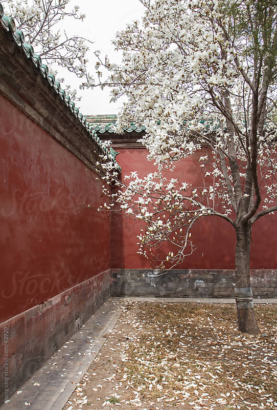 Magnolia and red wall by zheng long for Stocksy United