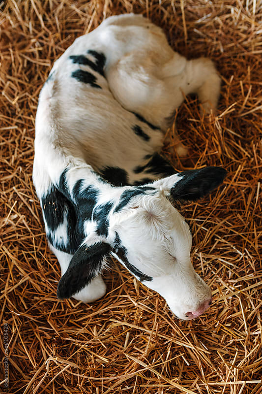 Newborn Calf by kkgas for Stocksy United