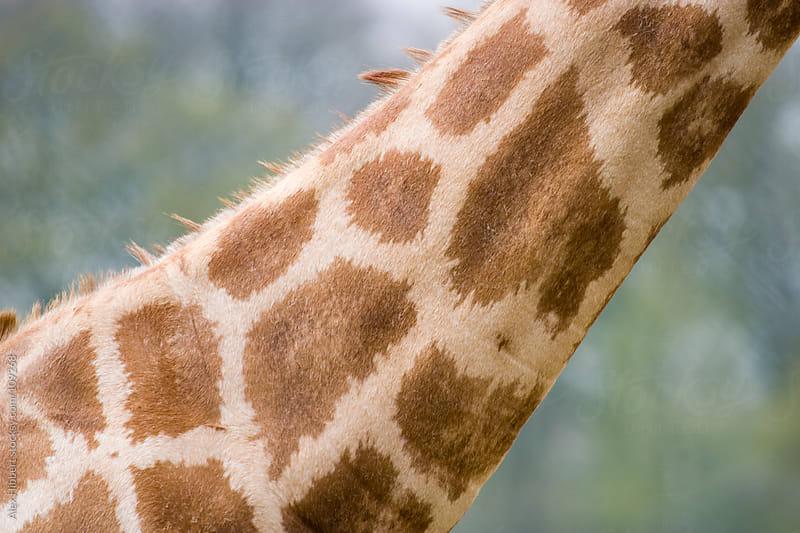Giraffe by Alex Hibbert for Stocksy United