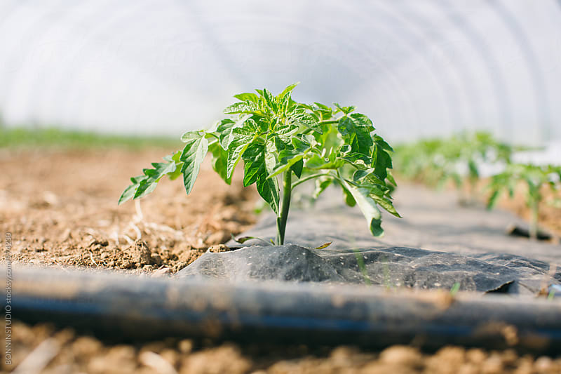 Closeup of a tomato plant growing in a greenhouse. by BONNINSTUDIO for Stocksy United