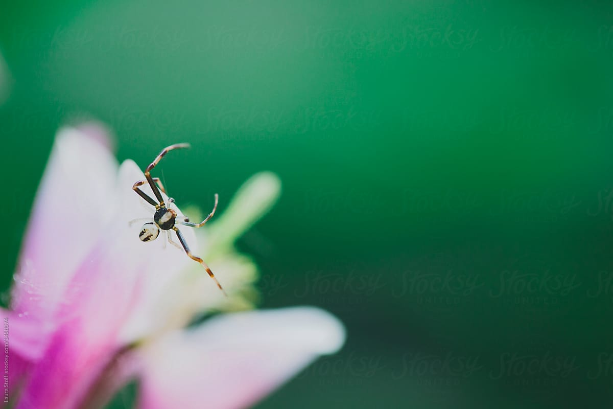 Macro Of Tiny Black And White Spider Perching On Pink Columbine