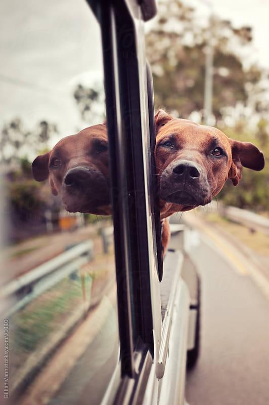 dog enjoying the ride by Gillian Vann for Stocksy United