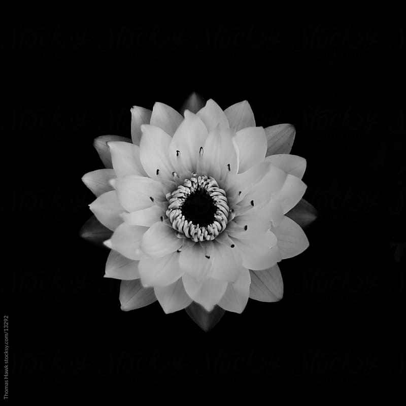 Black and White Water Lily by Thomas Hawk for Stocksy United
