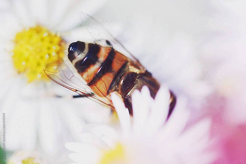 Macro catch of bee dipping into white Aster flowers and pink haze by Laura Stolfi for Stocksy United