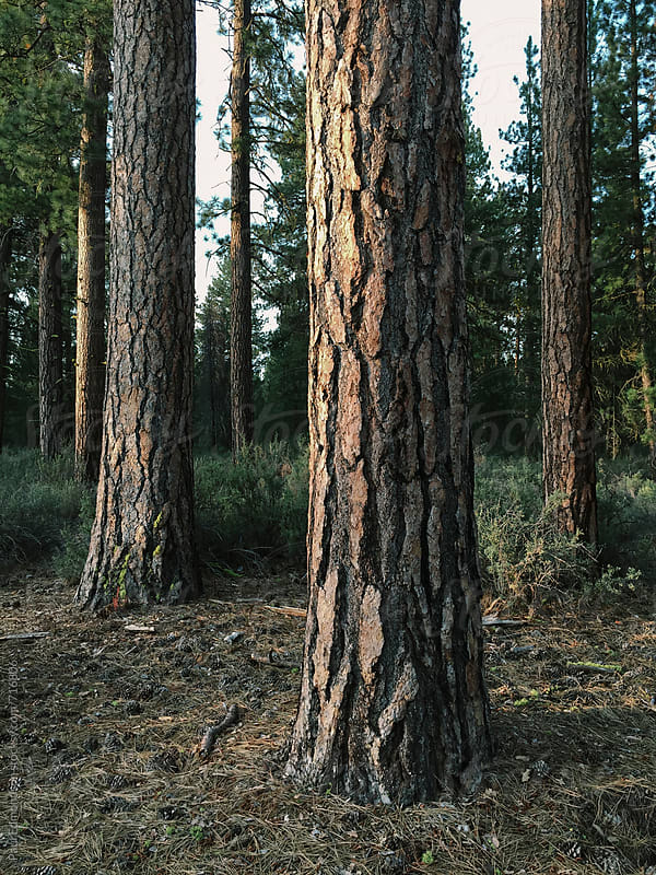 Ponderosa pine forest at dusk, Oregon by Paul Edmondson for Stocksy United