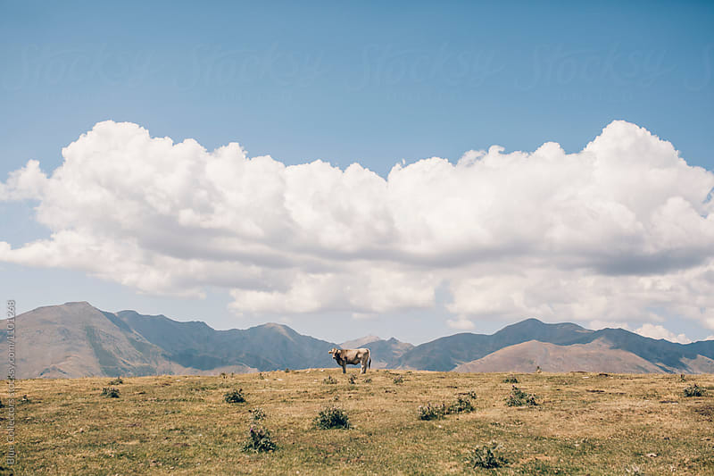 Cow on the top of the mountains by Jordi Rulló for Stocksy United