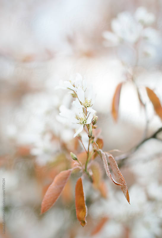Amelanchier blossom  by Helen Rushbrook for Stocksy United