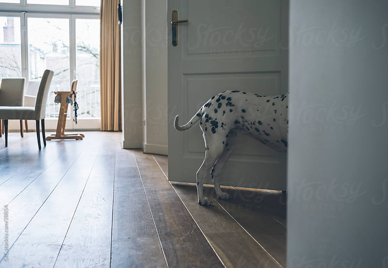 Dalmatian dog in the living room by GIC for Stocksy United