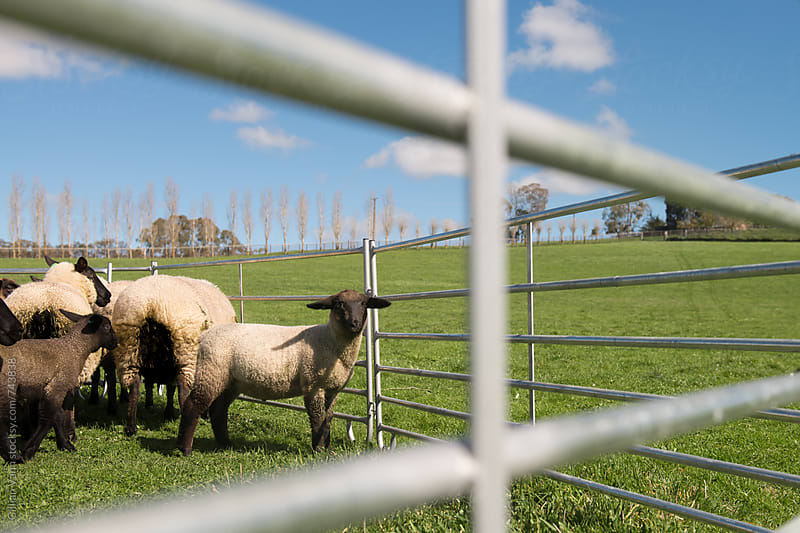 suffolk sheep contained in a pen on a farm by Gillian Vann for Stocksy United
