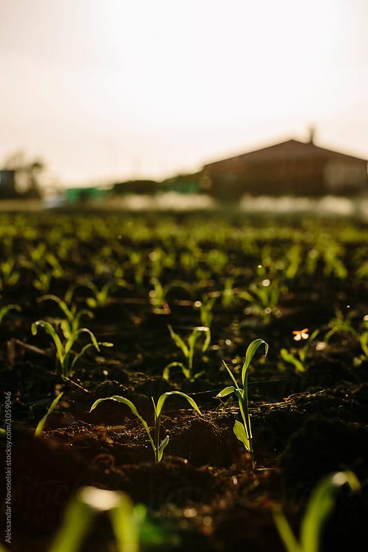 Corn crop by sunset by Aleksandar Novoselski for Stocksy United