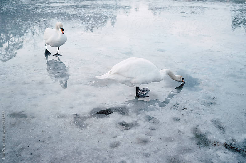 Two swans on the surface of a frozen lake. Norfolk, UK. by Liam Grant for Stocksy United