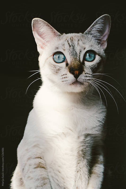 Cute Cat Looking at Camera by Marija Savic for Stocksy United