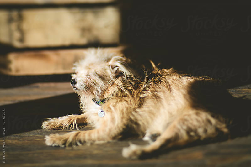 Scruffy dog in the sunshine. by Cherish Bryck for Stocksy United