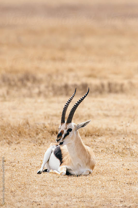 antelope in Ngorongoro Crater, Tanzania by Cameron Zegers for Stocksy United