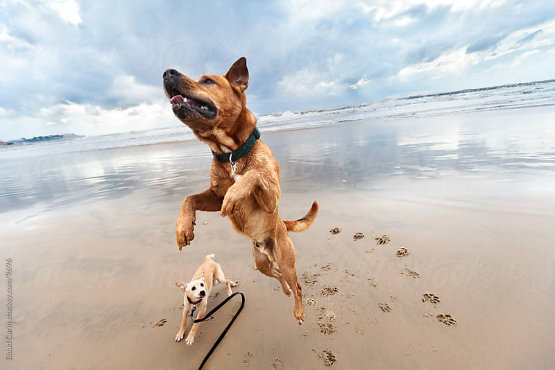 Jumping Mid-Air Winter Beach Dog & Puppy by Eldad Carin for Stocksy United