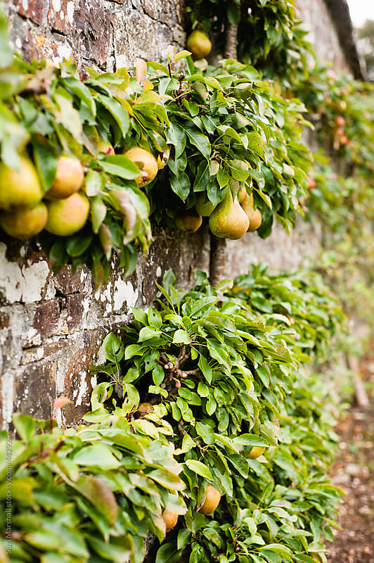 Ripe pears hanging from a tree in a walled garden by Suzi Marshall for Stocksy United