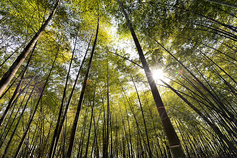Bamboo Grove (Hangzhou) by Andy Brandl for Stocksy United