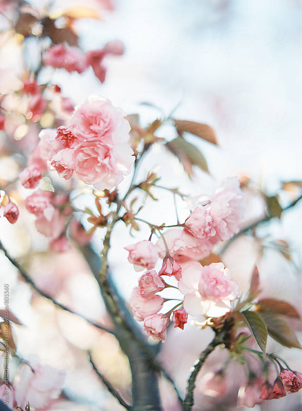 Pink Spring Blossoms on Tree Branch by Vicki Grafton Photography for Stocksy United